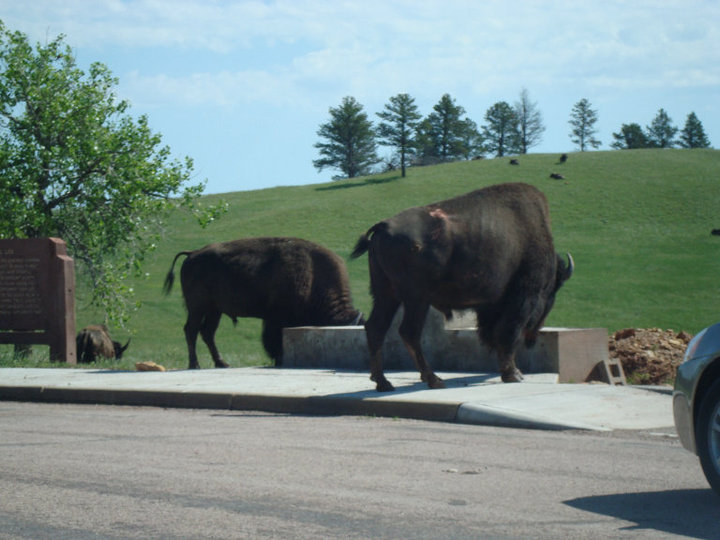 Bison. The best thing about South Dakota.