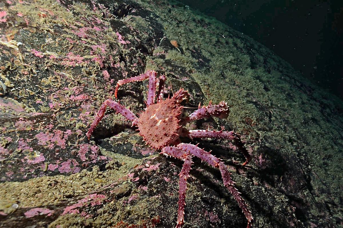 Denne trollkrabben fann Karlsen i Storvika på kring 20 meters djupne.