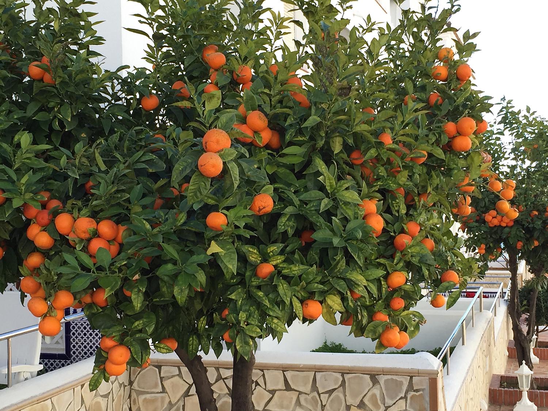 Det er snart full vår her i Nerja i Spania, ogsnart tid for å hausta appelsinene.