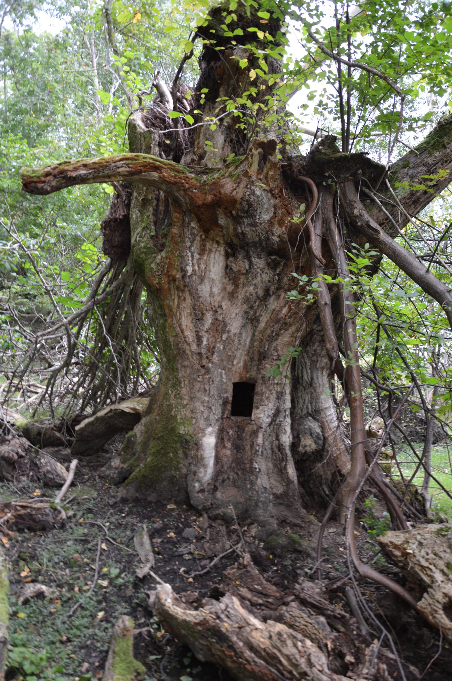 Inni dette gamle treet hadde Tjerand telefonen sin.
