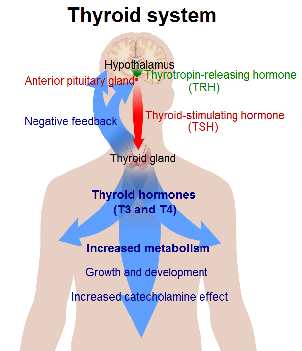 Thyroid_system.png