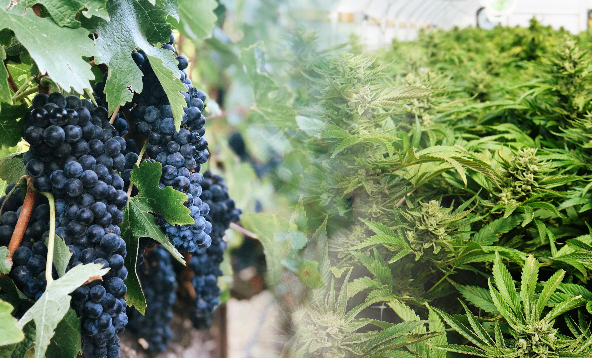 wine weed.jpg