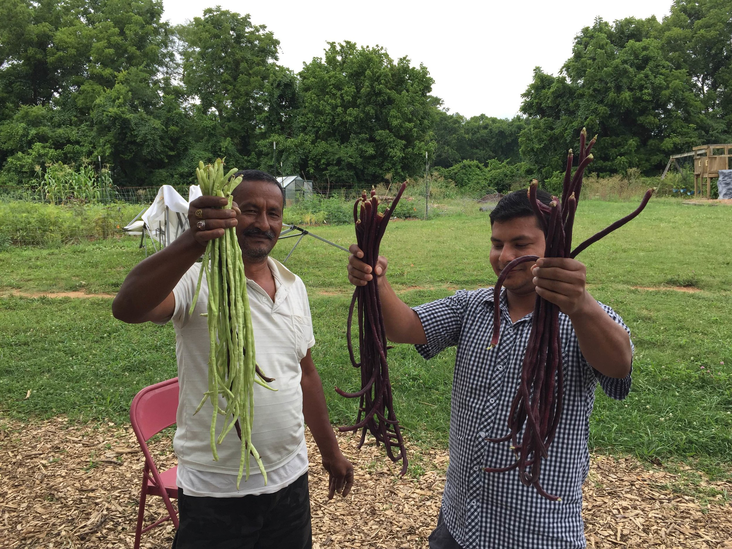 CRI_Long Beans_Harvest.JPG