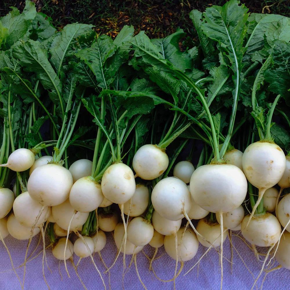 Turnips,Hakurei.jpg
