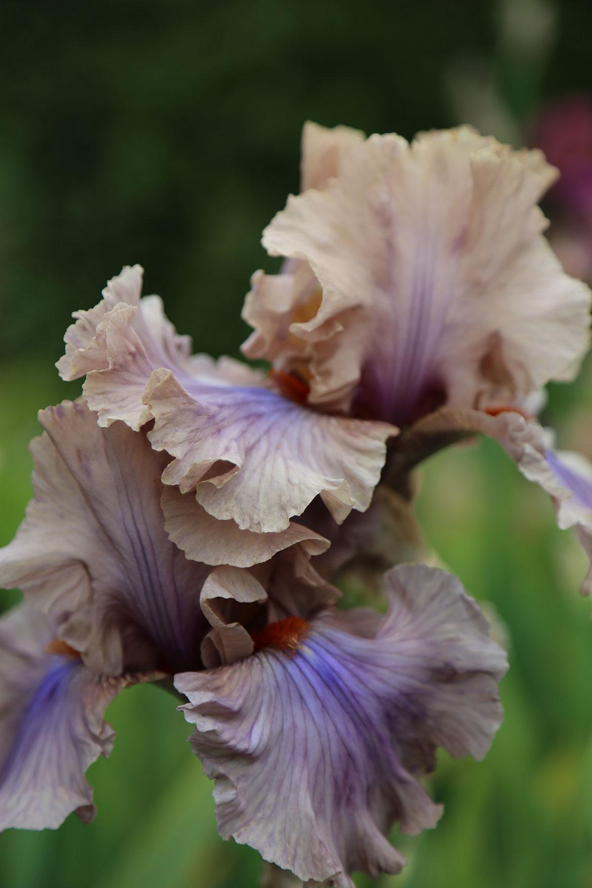 vervain-homegrown-bearded-iris-flower-01.jpg