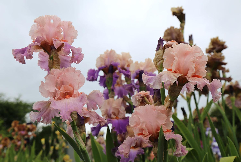 vervain-homegrown-bearded-iris-flower-02.jpg