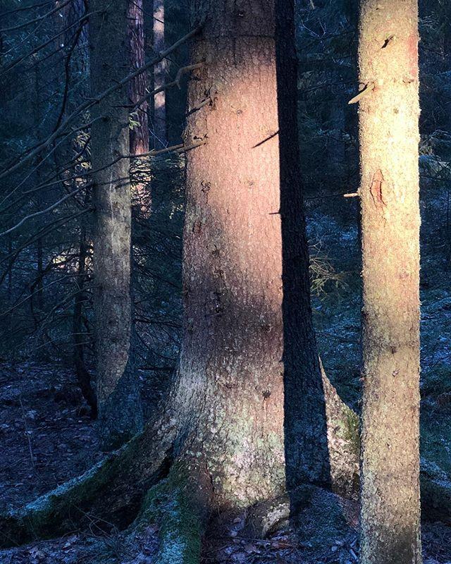 Altorp. – #nofilter #november #forest #light #tree #sun #sunray #skog #altorp #altorpsskogen #träd #eftermiddagsljus #djursholm #danderyd