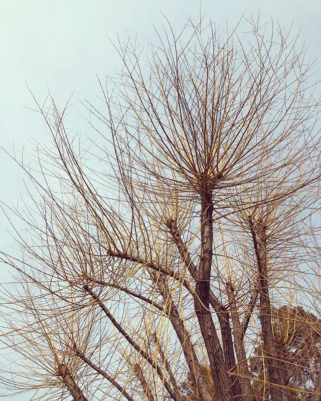 The golden tree. - #tree #gold #spring #danderyd #djursholm #träd #guld #grenar #vår #årstid