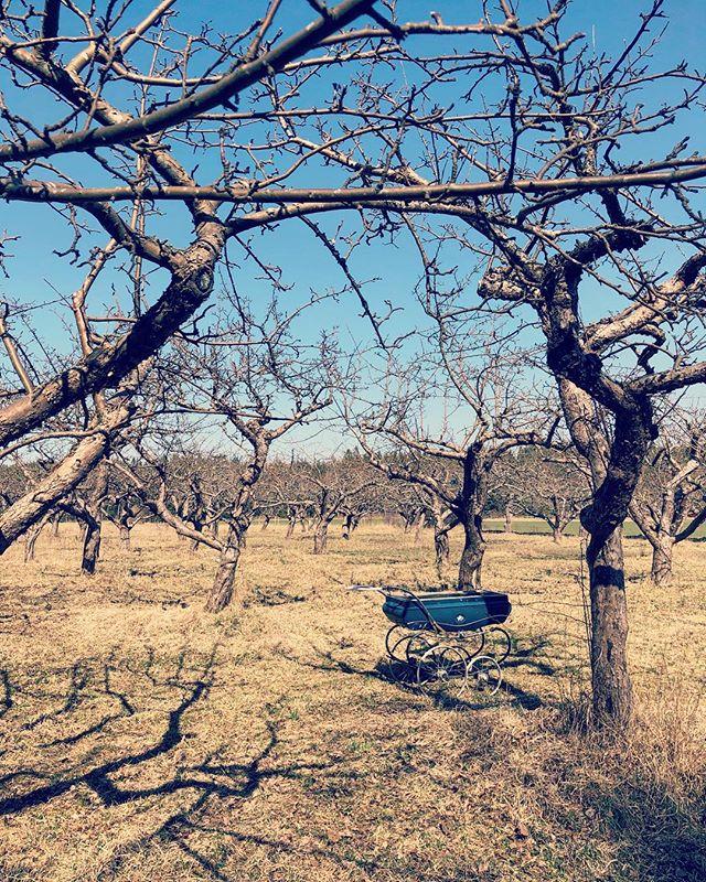 Rosenhill - #café #Ekerö #Rosenhill #garden #appletree #spring #kafé #stockholm #äppelträd #tystnaden #vår