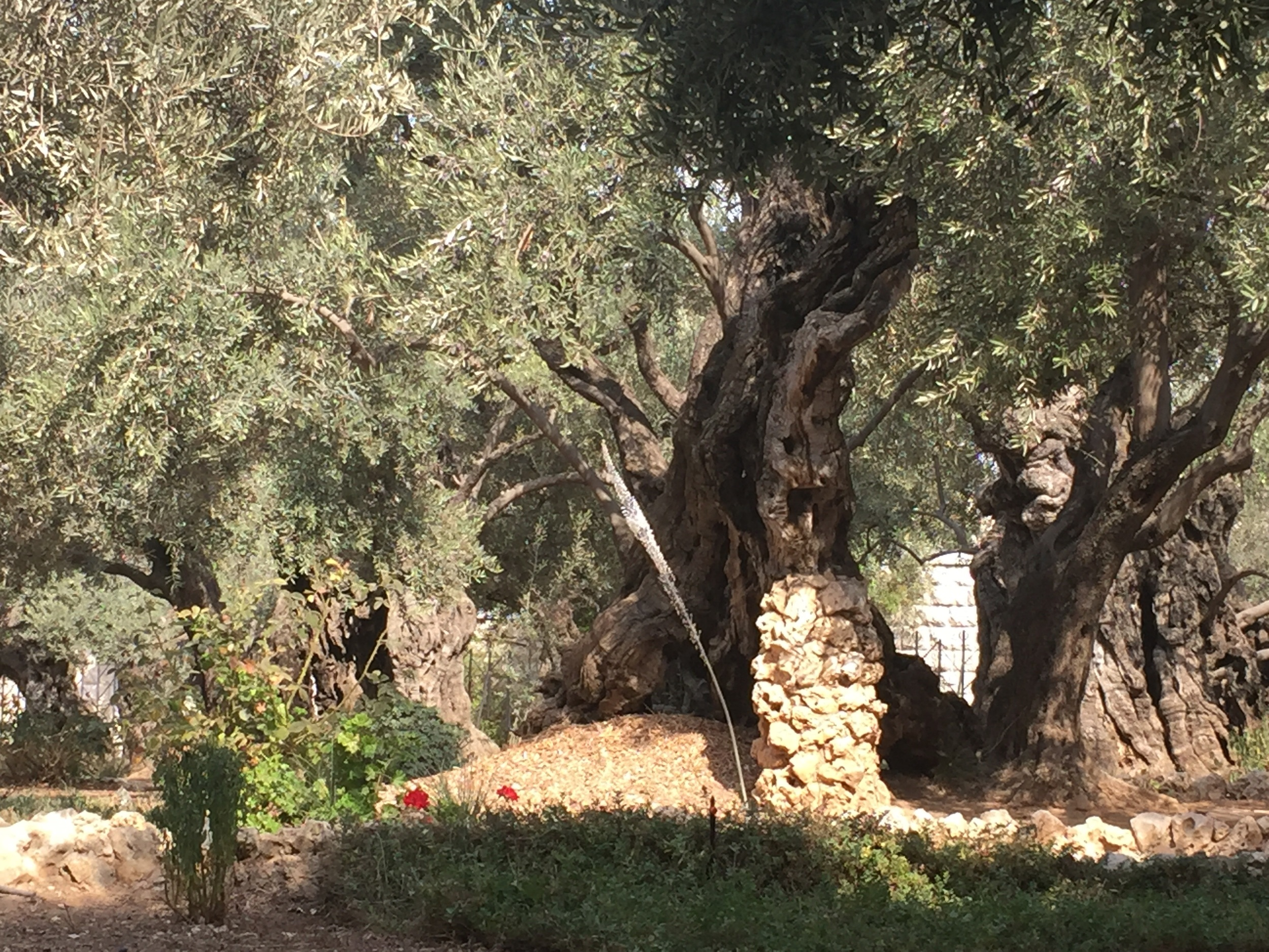 The traditional site of the Garden of Gethsemane has some olive trees dating to the time of Christ!