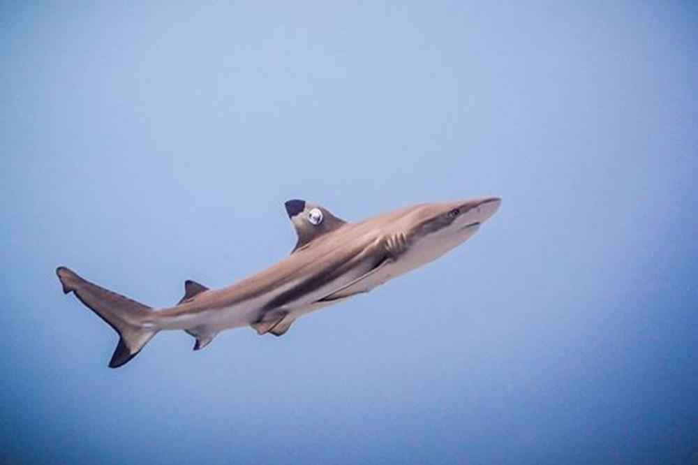 PADI Shark Specialty, Diving in Bali