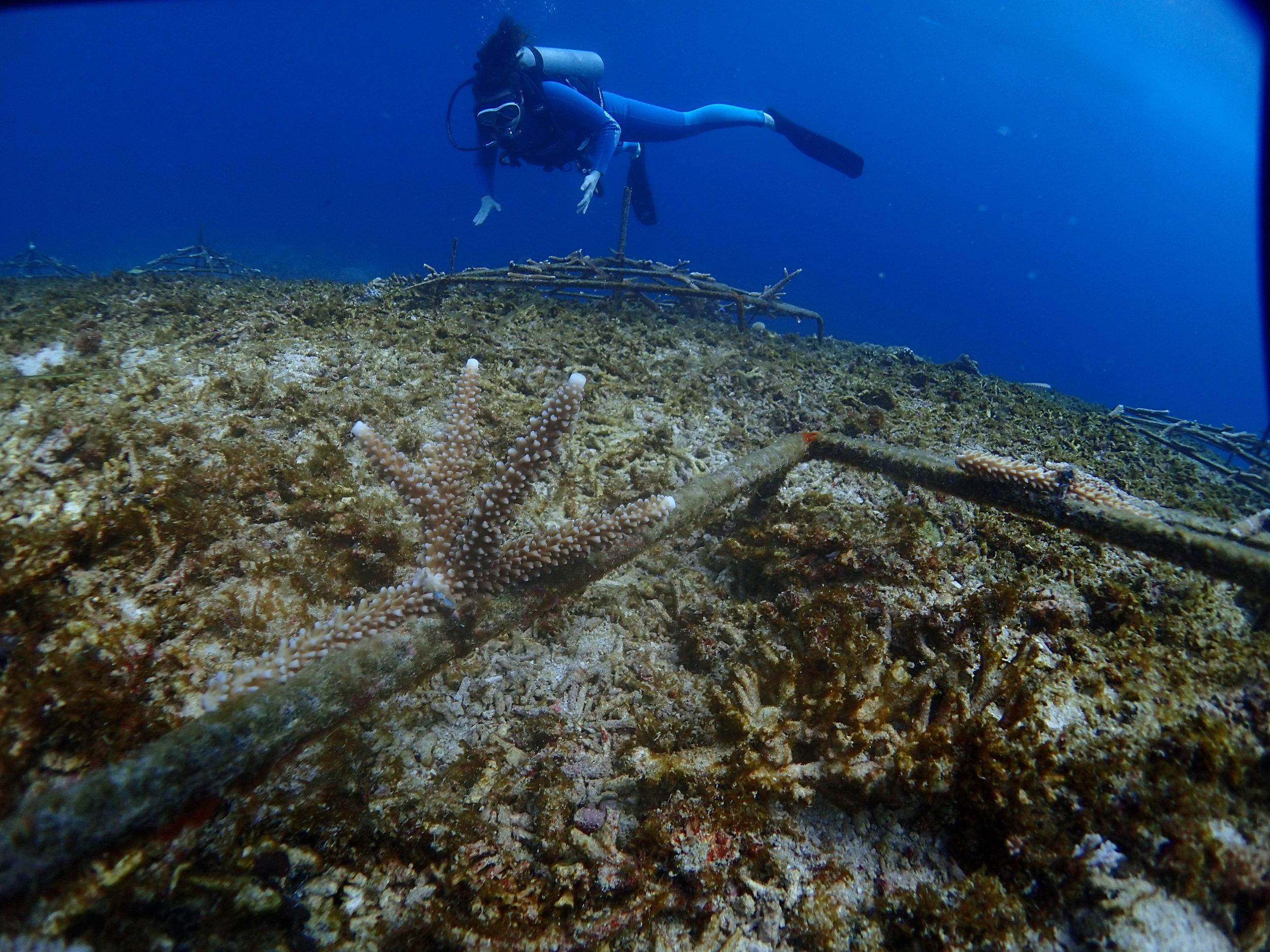 Coral Restoration artificial reefs
