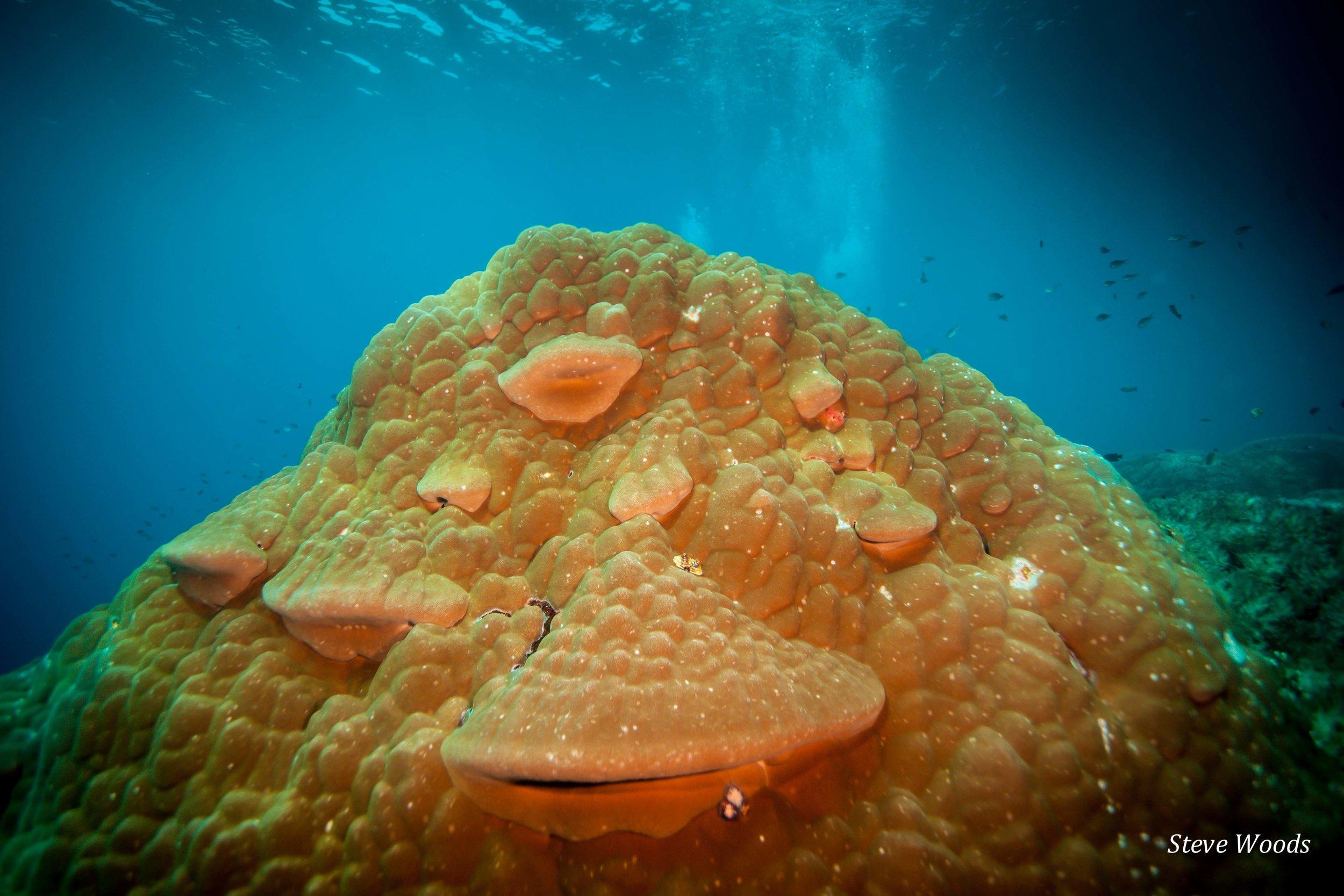 Massive Porites coral