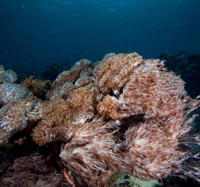 Xenia Soft Coral