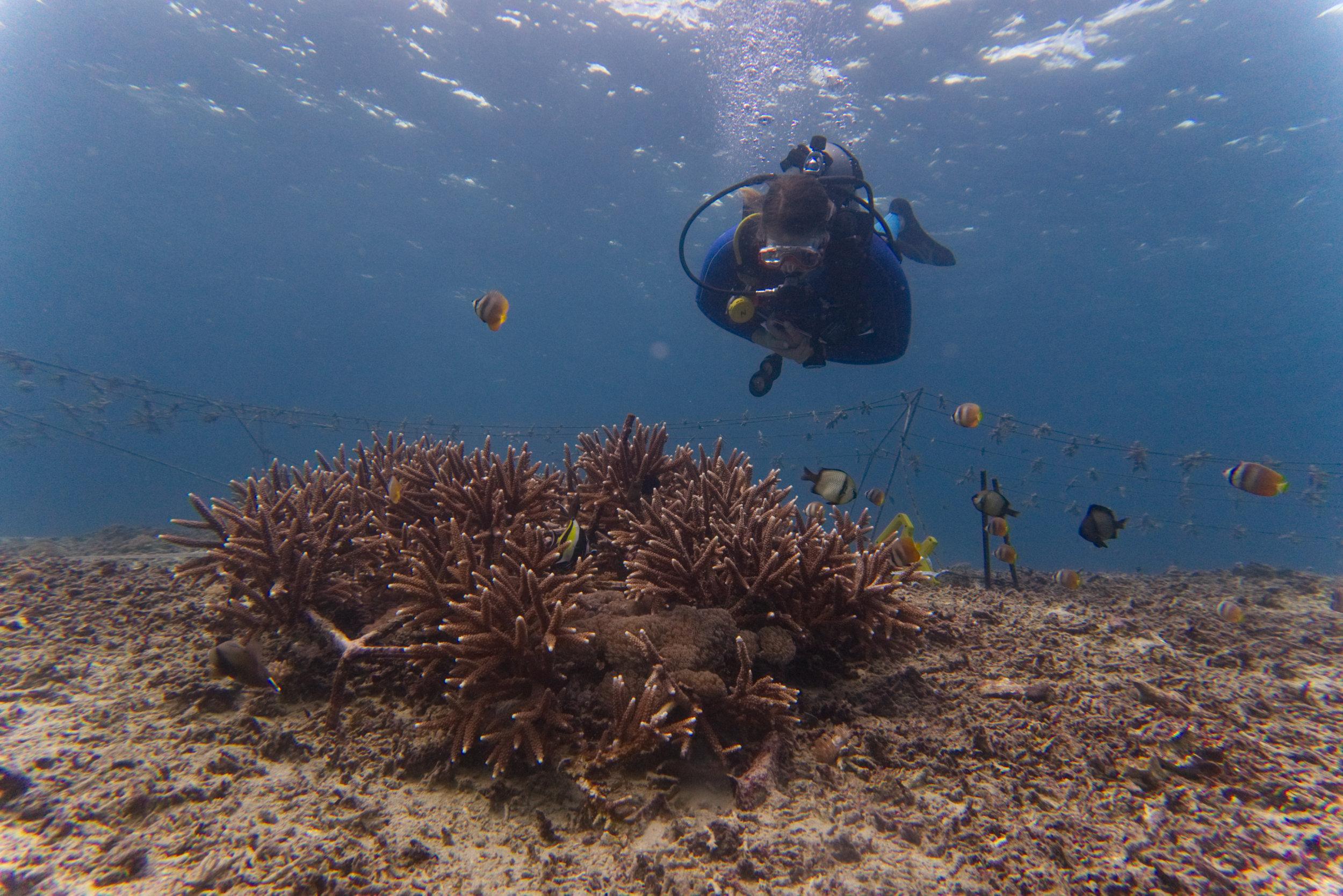 Acropora coral restoration