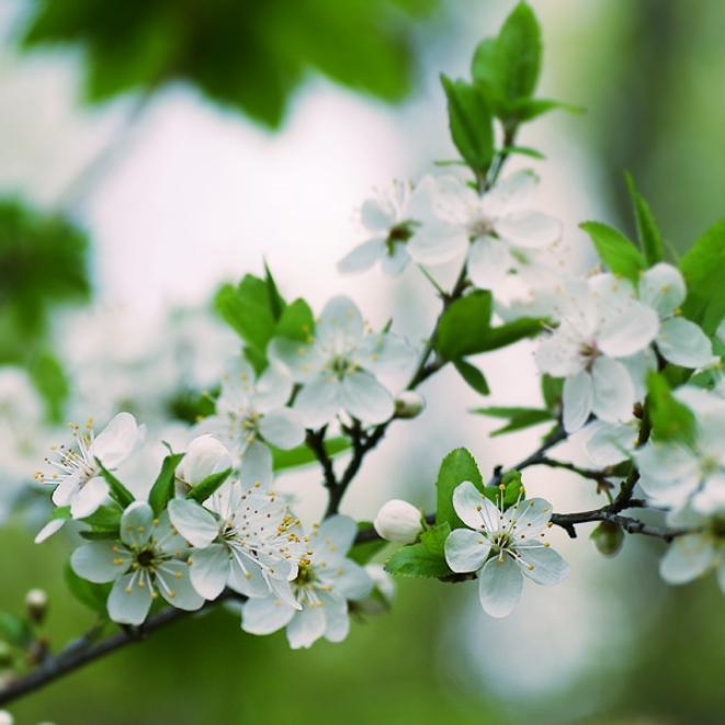 leina_fleur_de_cerisier.jpg