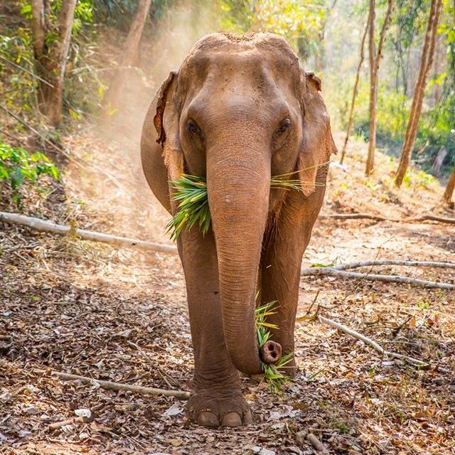 Asian Elephant | Chiang Mai, Thailand