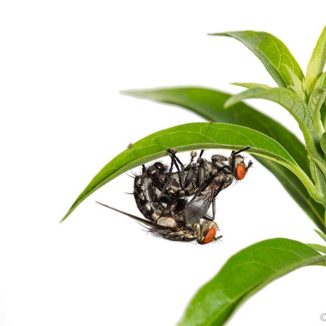 Flies having fun | Solomon Islands