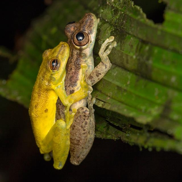 Olive Treefrogs in Ampelux (aka. Mating) | La Selva, Costa Rica