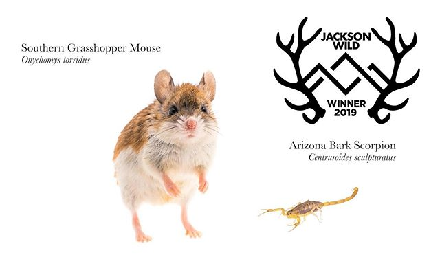 Will the real winners the  #JacksonWild Science & Nature Short Form Award please stand up & accept your award...I guess scorpions don't really stand. Hats off to the critters we get to tell stories about! jacksonwild19