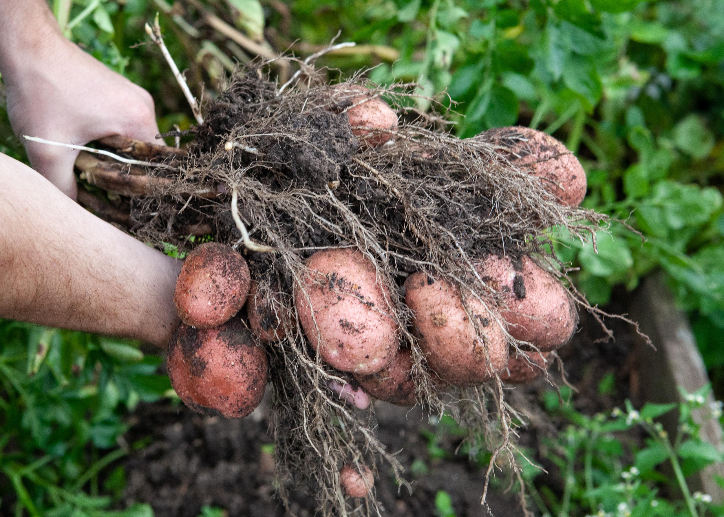 #HarvestingPotatoes -