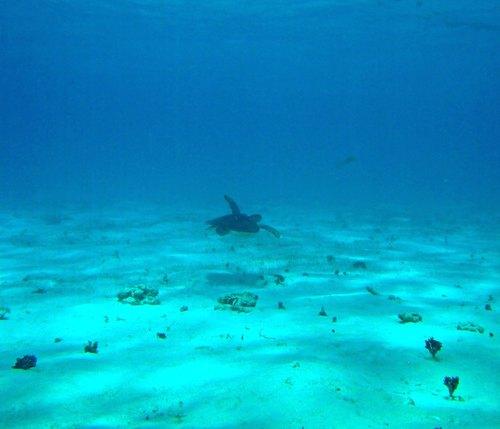 Female Green Sea Turtle - Snorkel Grand Cayman