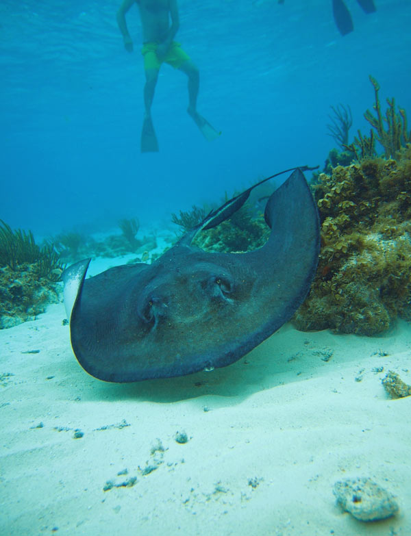 Snorkelling with Stingrays in Grand Cayman