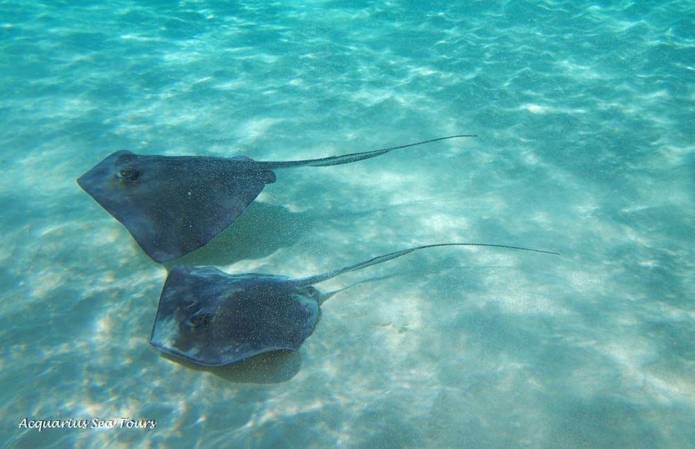 Tandem stingray delight at the Grand Cayman sandbar