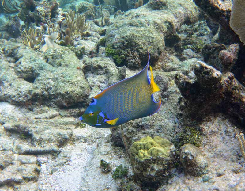 What a beauty of a Queen Angel Fish found at the Barrier Reef in Grand Cayman