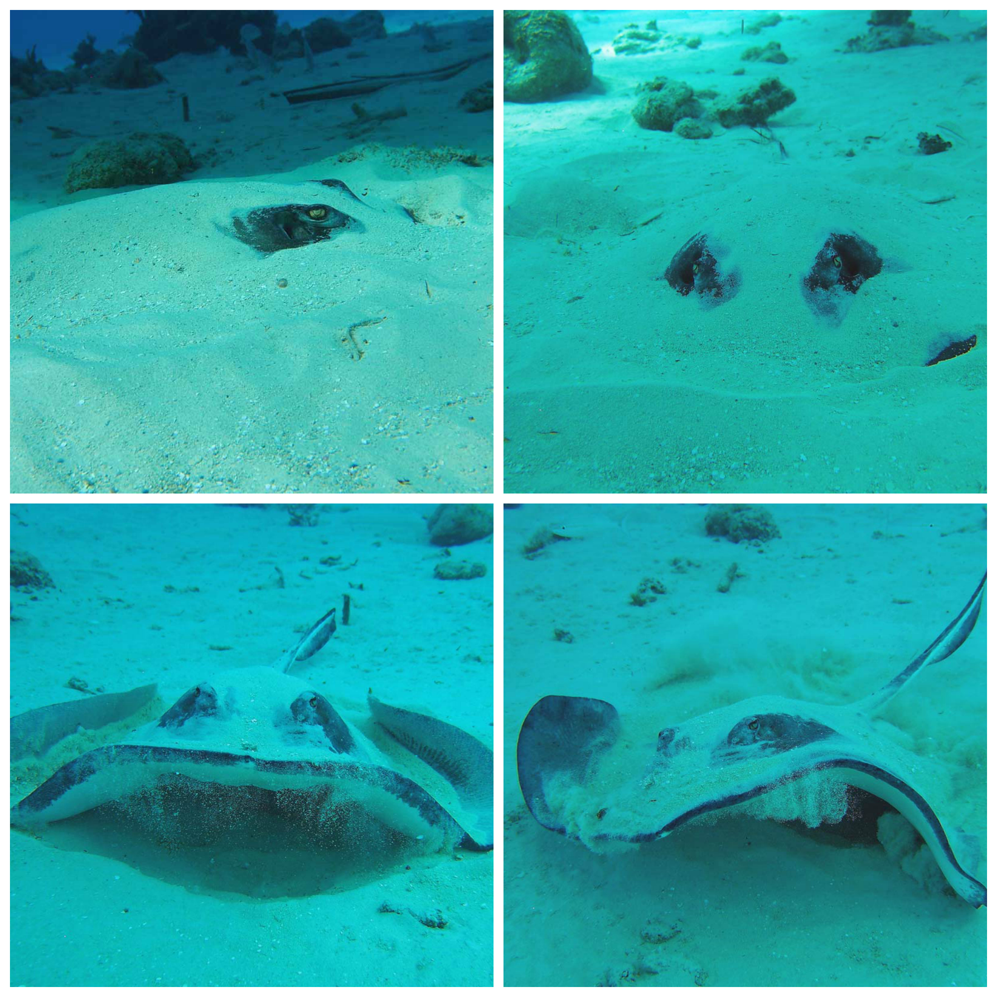 Sleepy stingray ..... NOT impressed with being disturbed (snorkelling in Grand Cayman)
