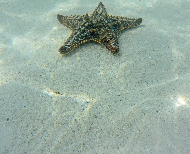 Juvenile Starfish making tracks