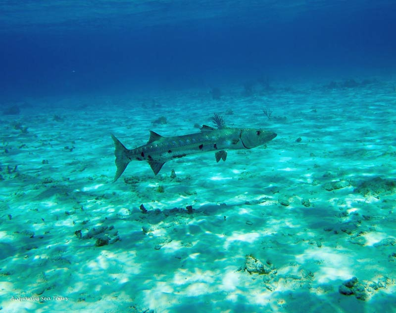 A huge Barracuda joins us for the snorkelling