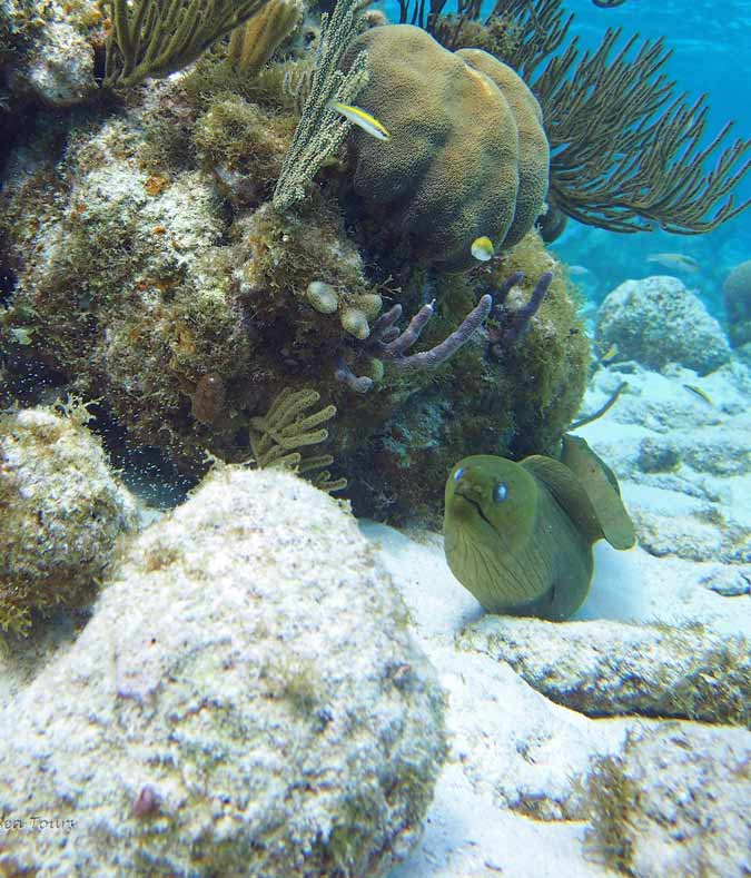 The Moray Eel comes out to play for a second day in a row -  the Reef  in Grand Cayman