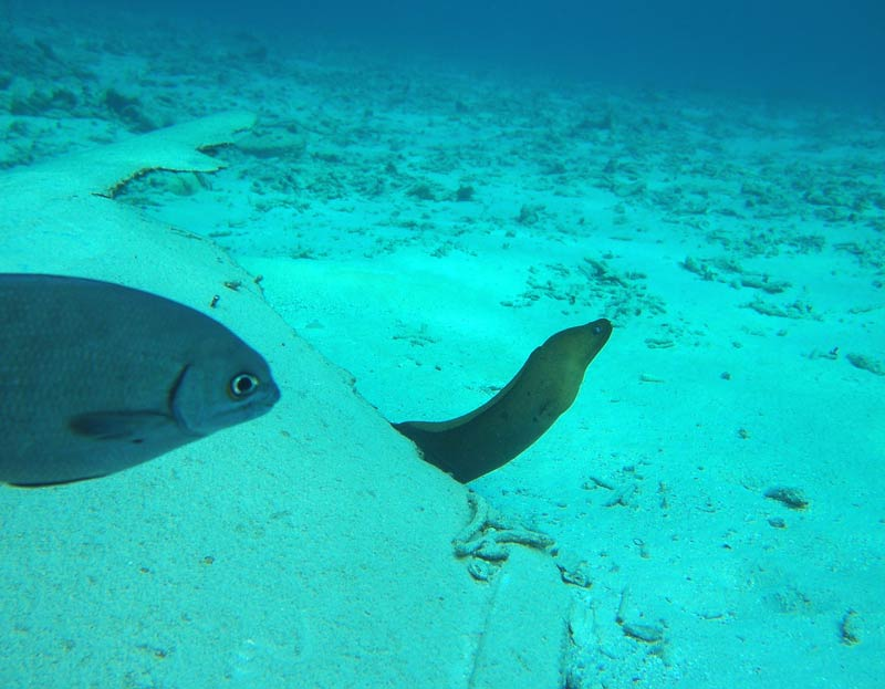 The moray eel plays hide and seek at the reef in Grand Cayman - popping out, going back in ......
