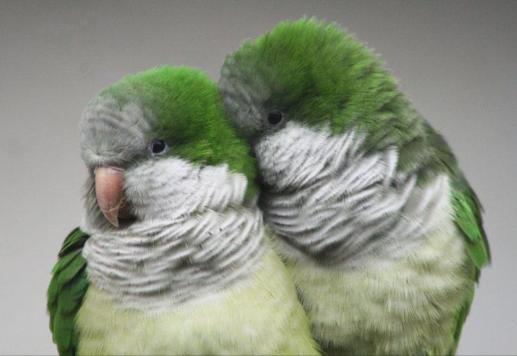 Quaker Parrots