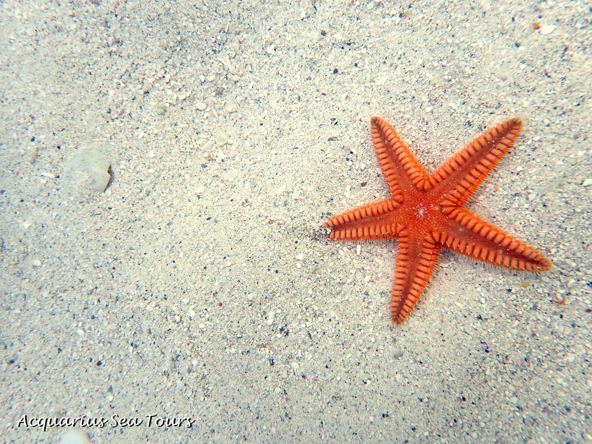 Two spined sea star at Starfish Point in Grand Cayman
