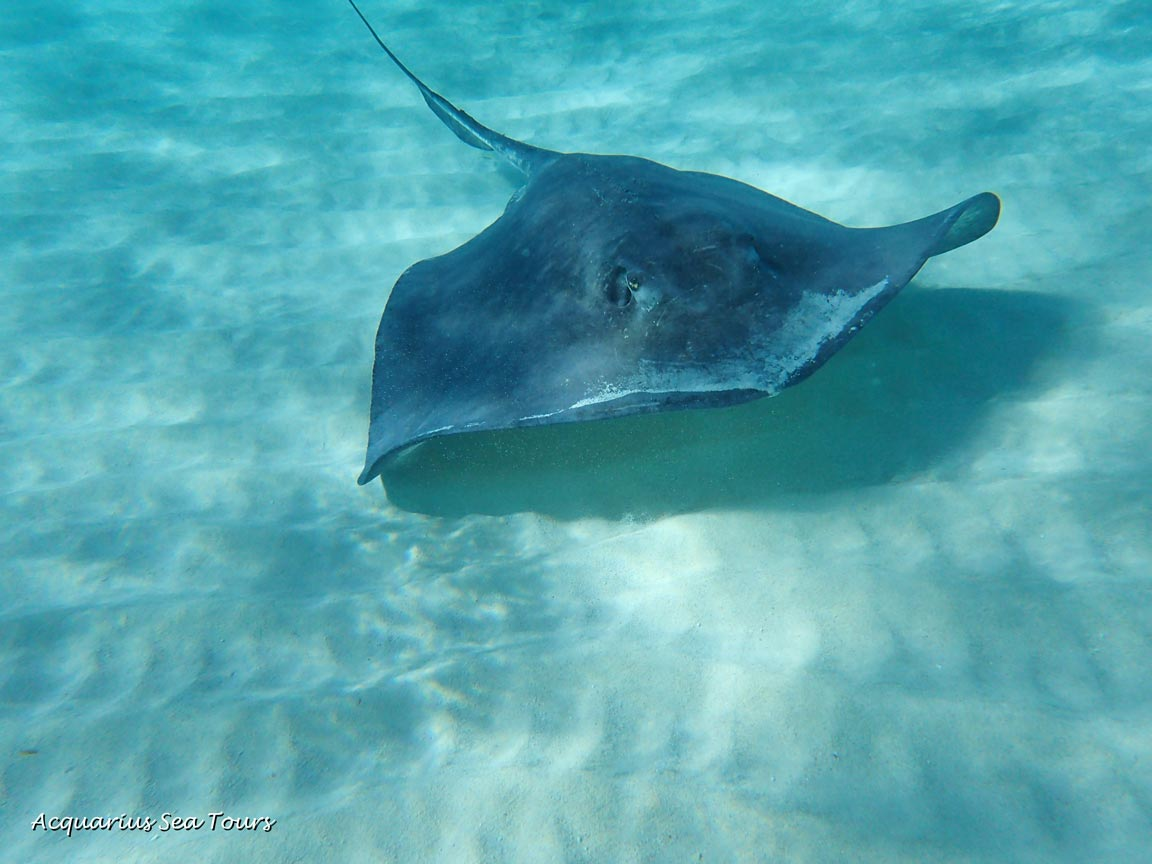 "One of the ""ladies"" at Stingray City in Grand Cayman"