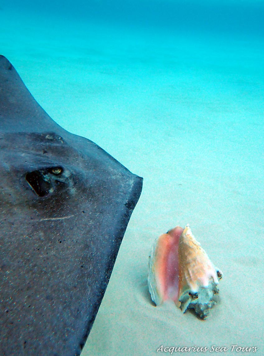 Stingray City in Grand Cayman - one of the beautiful Southern Stingrays passes over a conch shell at the sandbar