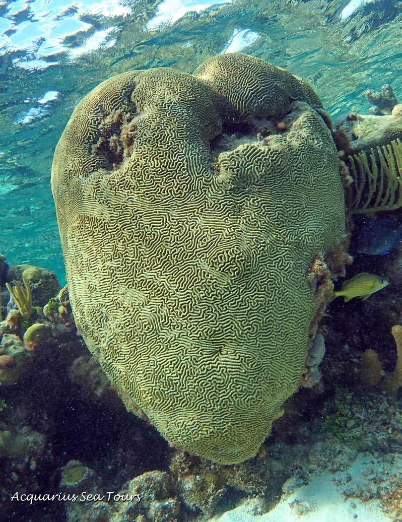 """Mandy's heart"" - a stunning piece of brain coral to be found at the Barrier Reef in Grand Cayman"