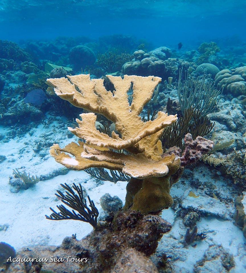 Stunning Elkhorn Coral