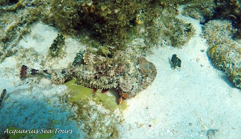 From the top ... the Spotted Scorpionfish ... sometimes called Rock fish by the locals