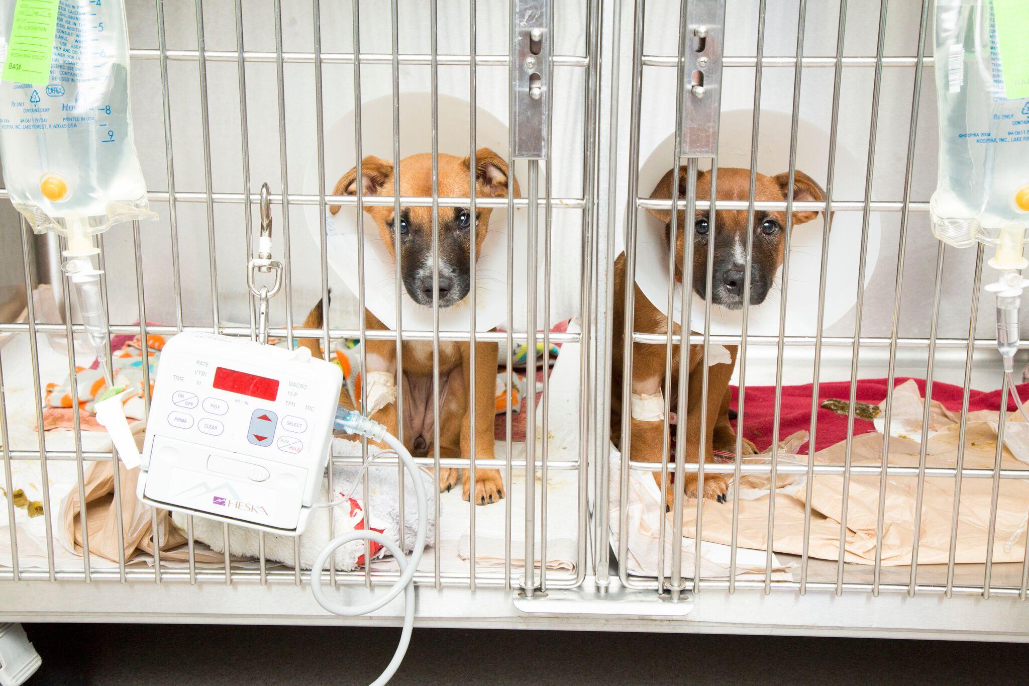 Puppy Parvo ICU 1_preview.jpeg