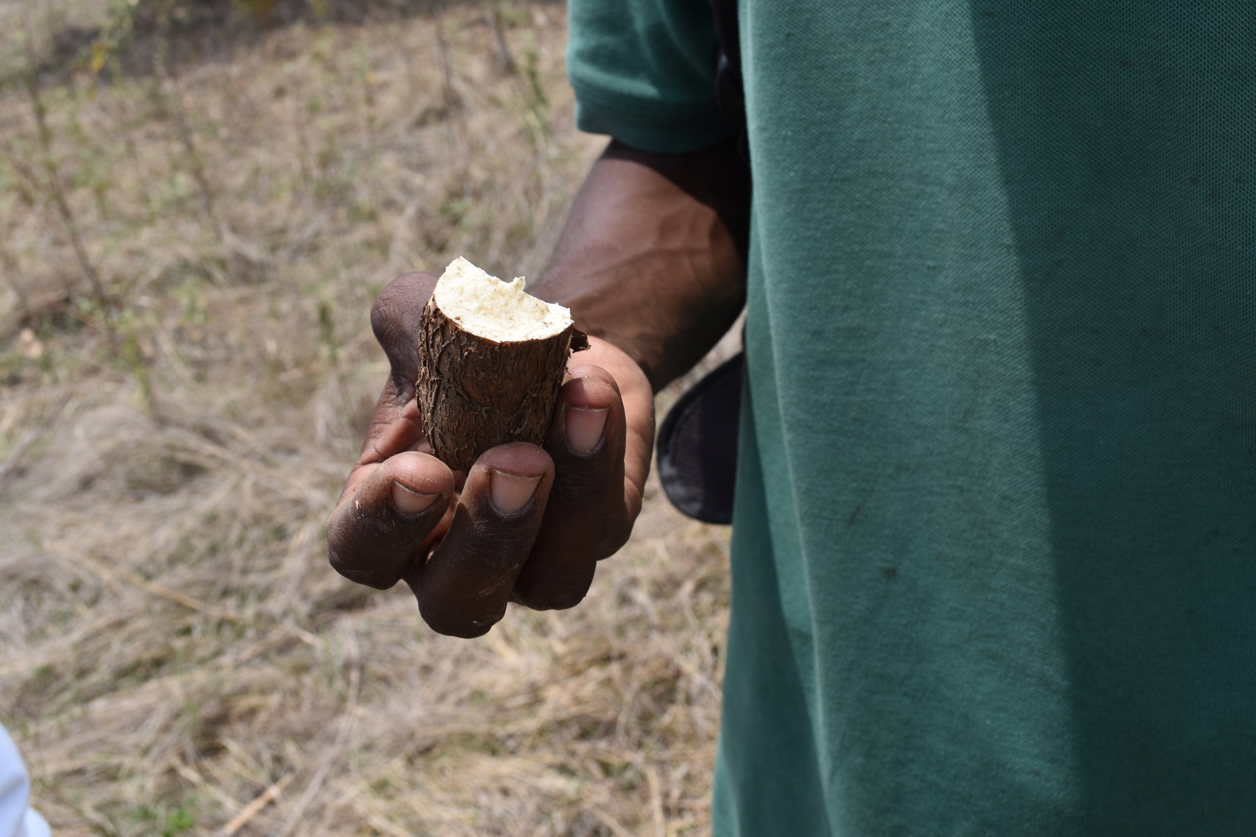 Andral tore open the outer skin of the manioc and ate the raw root crop.
