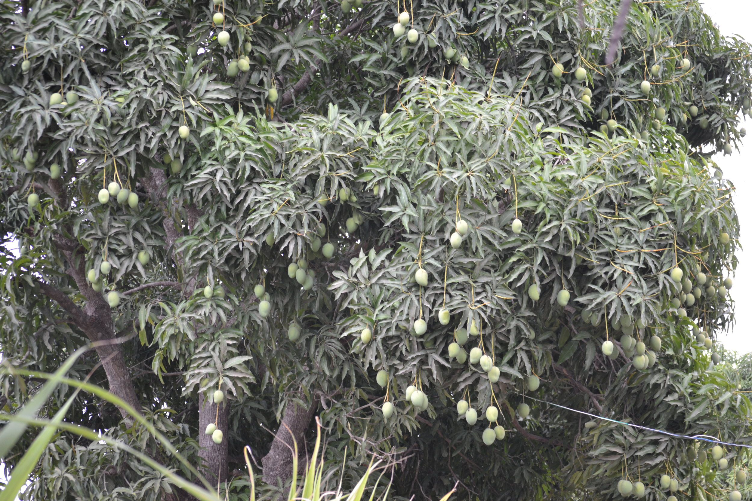Despite the drought, well established mango trees produce bountiful fruit.