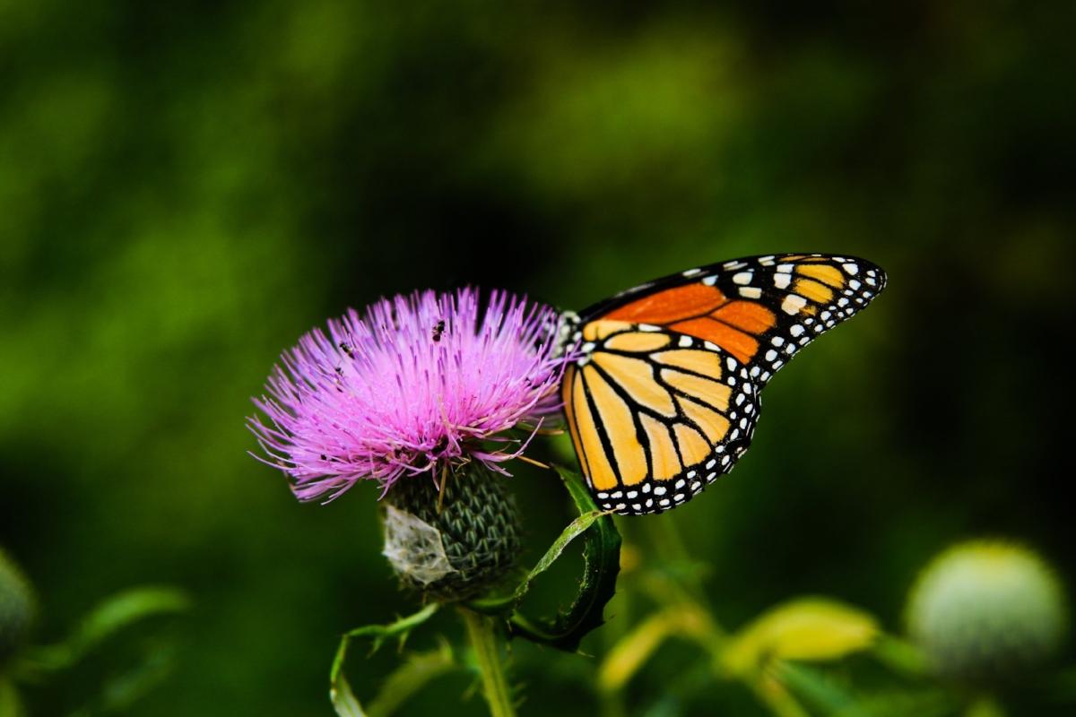 monarch_thistle.jpg