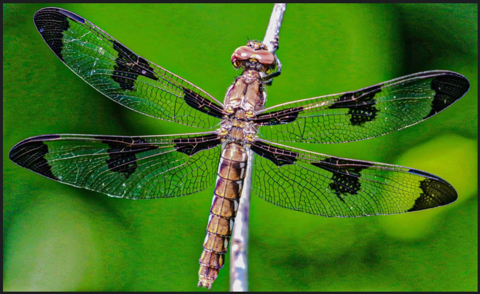 Resting Dragon fly