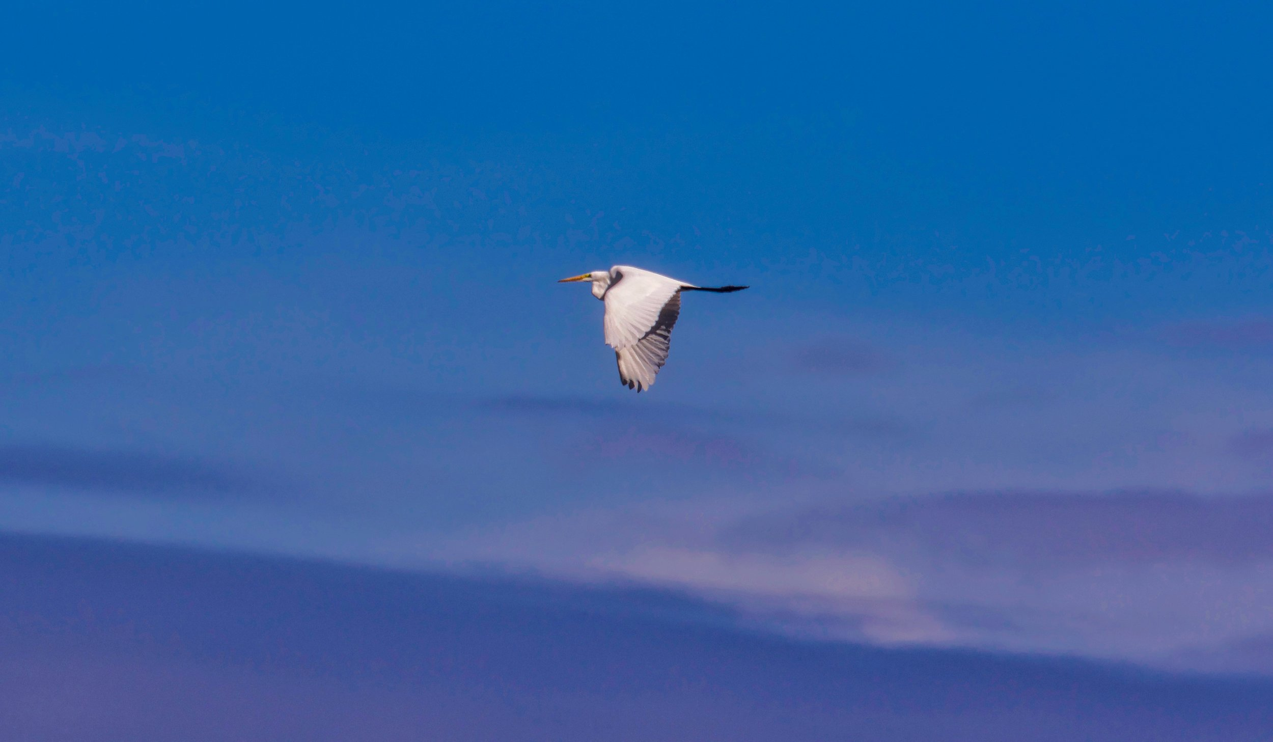 Egret Flying Over