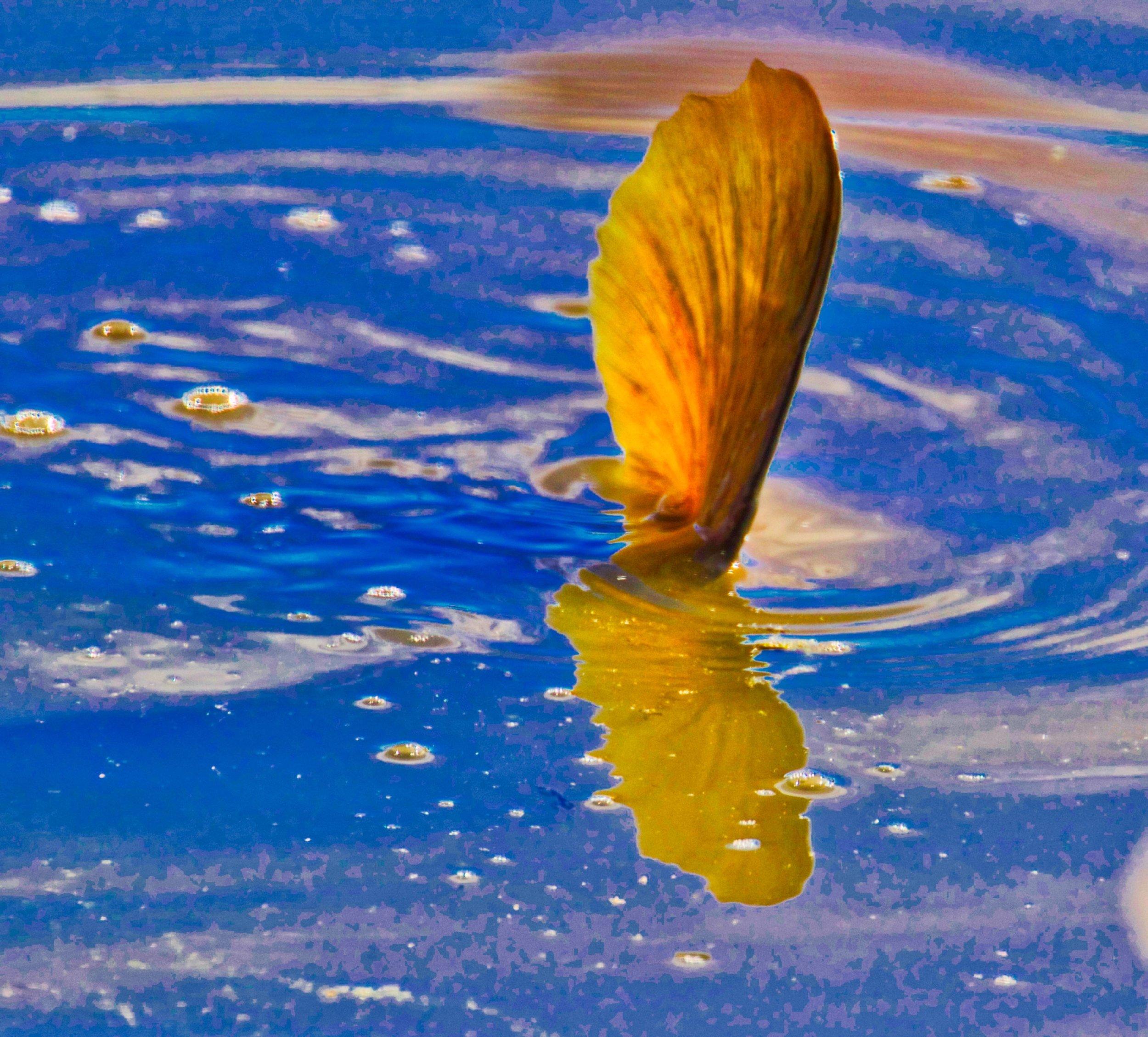 Carp in the Pond