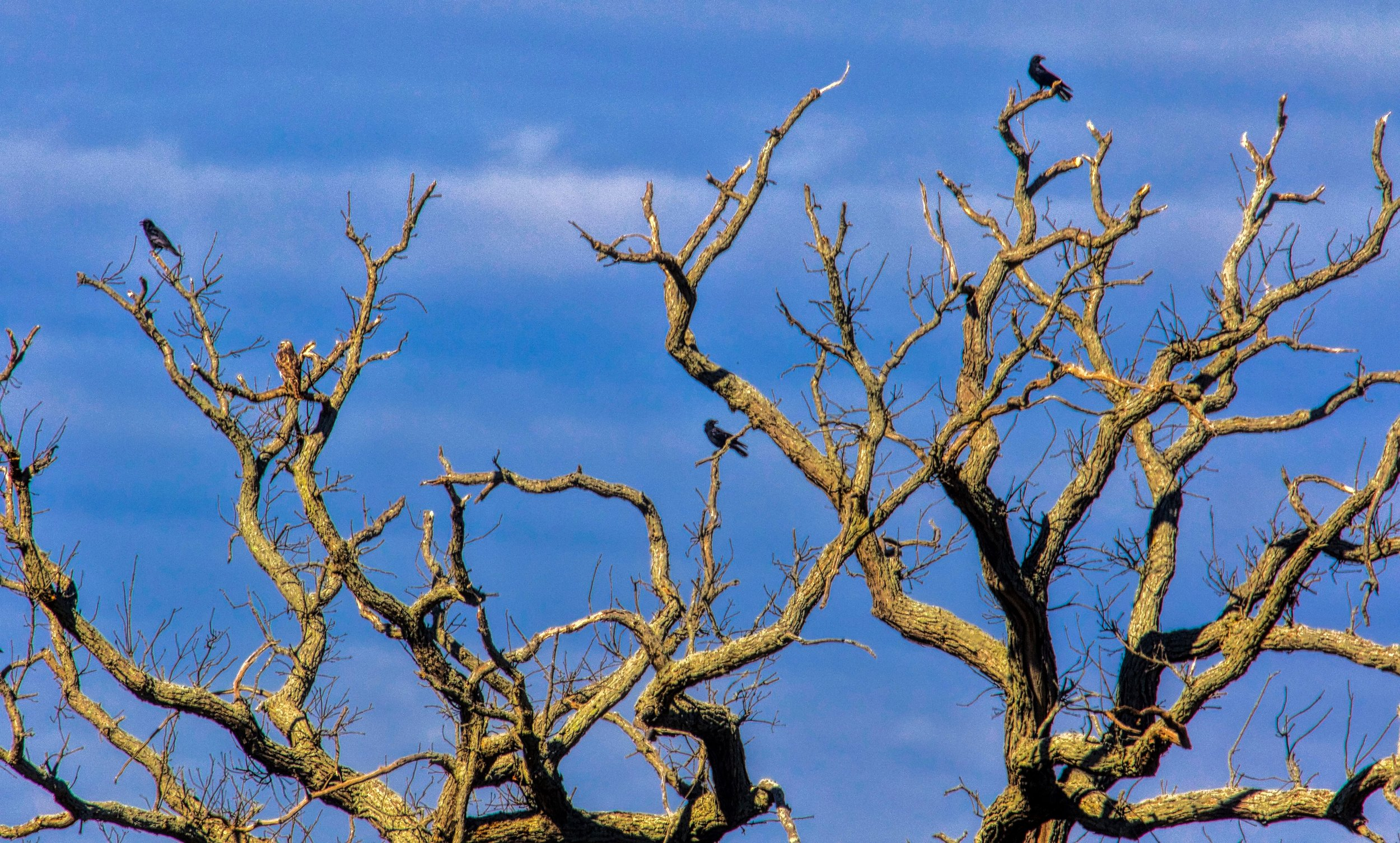 Crows Hanging Out in a Tree