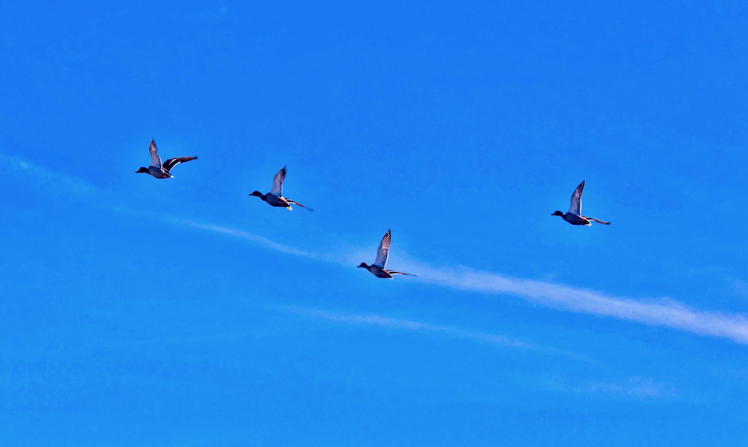 Mallards Flying Over